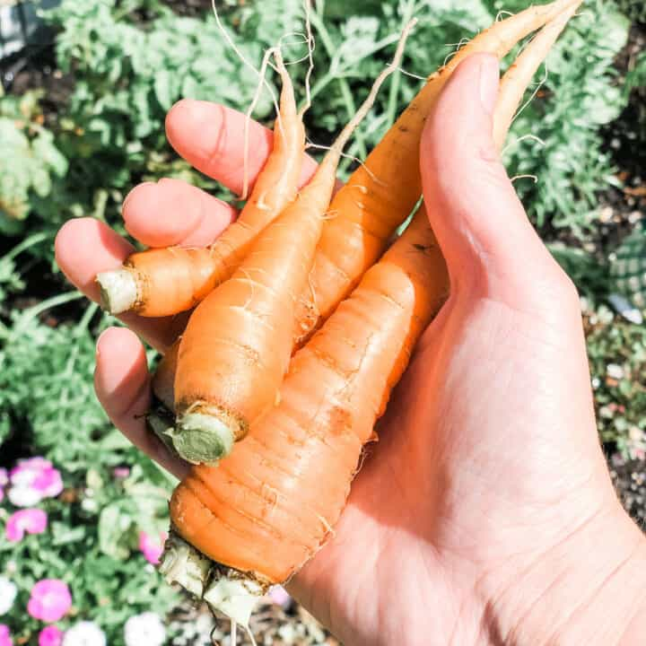 image of a hand holding 4 carrots in the palm with a garden in the background